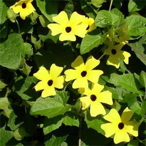 Photo of Black-Eyed Susan Vine (Thunbergia alata) uploaded by vic