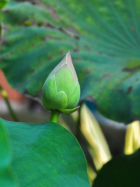 Photo of Sacred Lotus (Nelumbo nucifera) uploaded by robertduval14