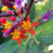 Location: Plano, TXDate: 2013-11-01Tropical Milkweed with Hyacinth Bean seedpods