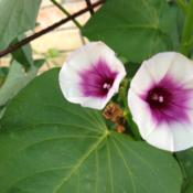 Location: Mansfield TXDate: 2013-09-06flower of the sweet potato vine.  This originated as a
