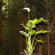 Location: My garden, Gent, BelgiumDate: 2013-06-15Mine grows very tall as it doesn't receive much sun.