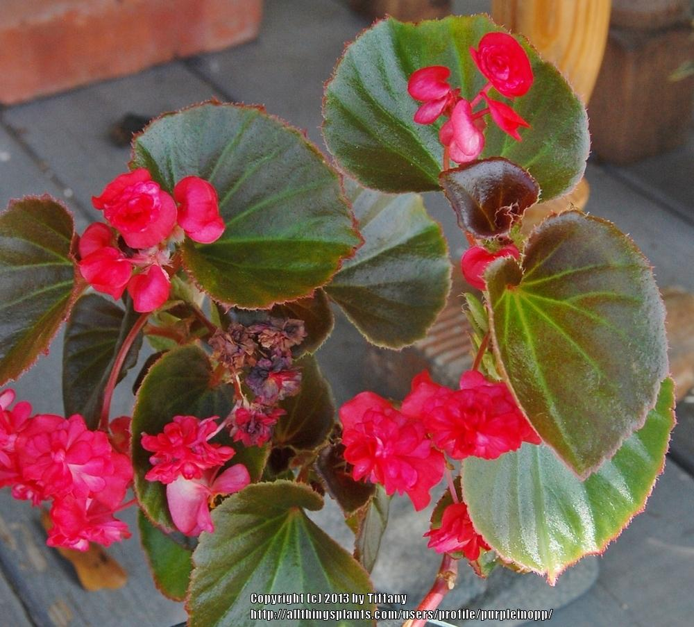 photo of the entire plant of wax begonia begonia x. Black Bedroom Furniture Sets. Home Design Ideas