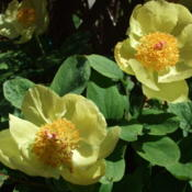Location: British ColumbiaDate: April 2013Paeonia mlokosewitschii