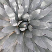 Location: Desert Botanical Gardens, Phoenix, ArizonaDate: March, 2004Agave macroacantha