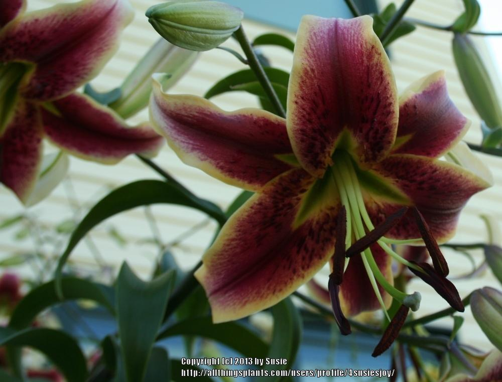 Photo of Lily (Lilium 'Scheherazade') uploaded by 4susiesjoy