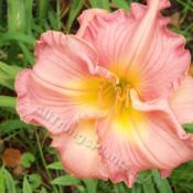 Location: My garden in Southeast VirginiaDate: 07/03/13Very clear beautiful pink daylily.