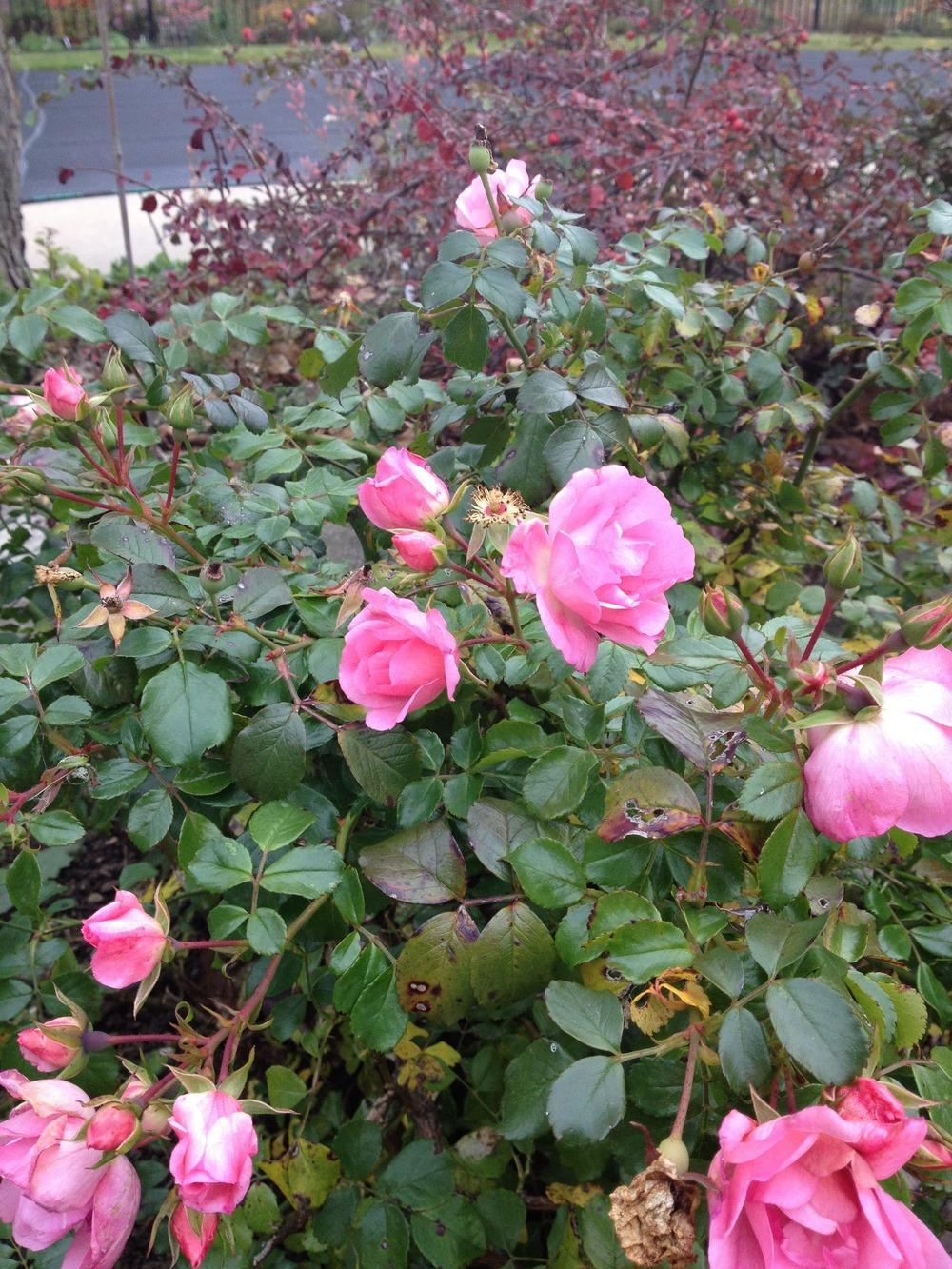 Photo of Roses (Rosa) uploaded by jvdubb