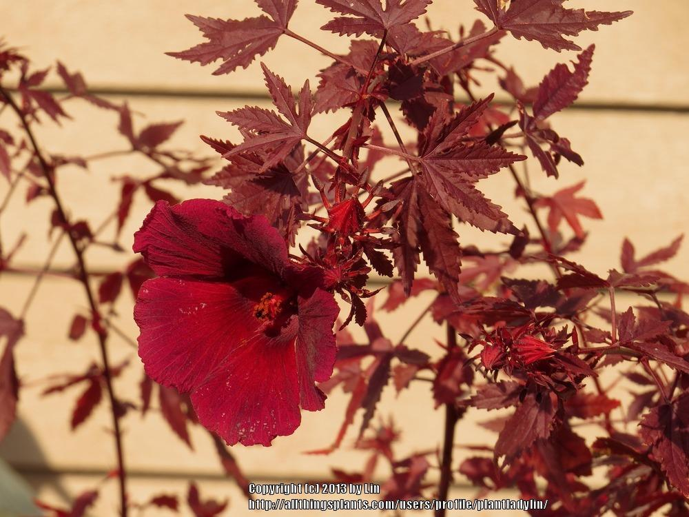 Photo Of The Bloom Of Hibiscus Hibiscus Acetosella Panama Red