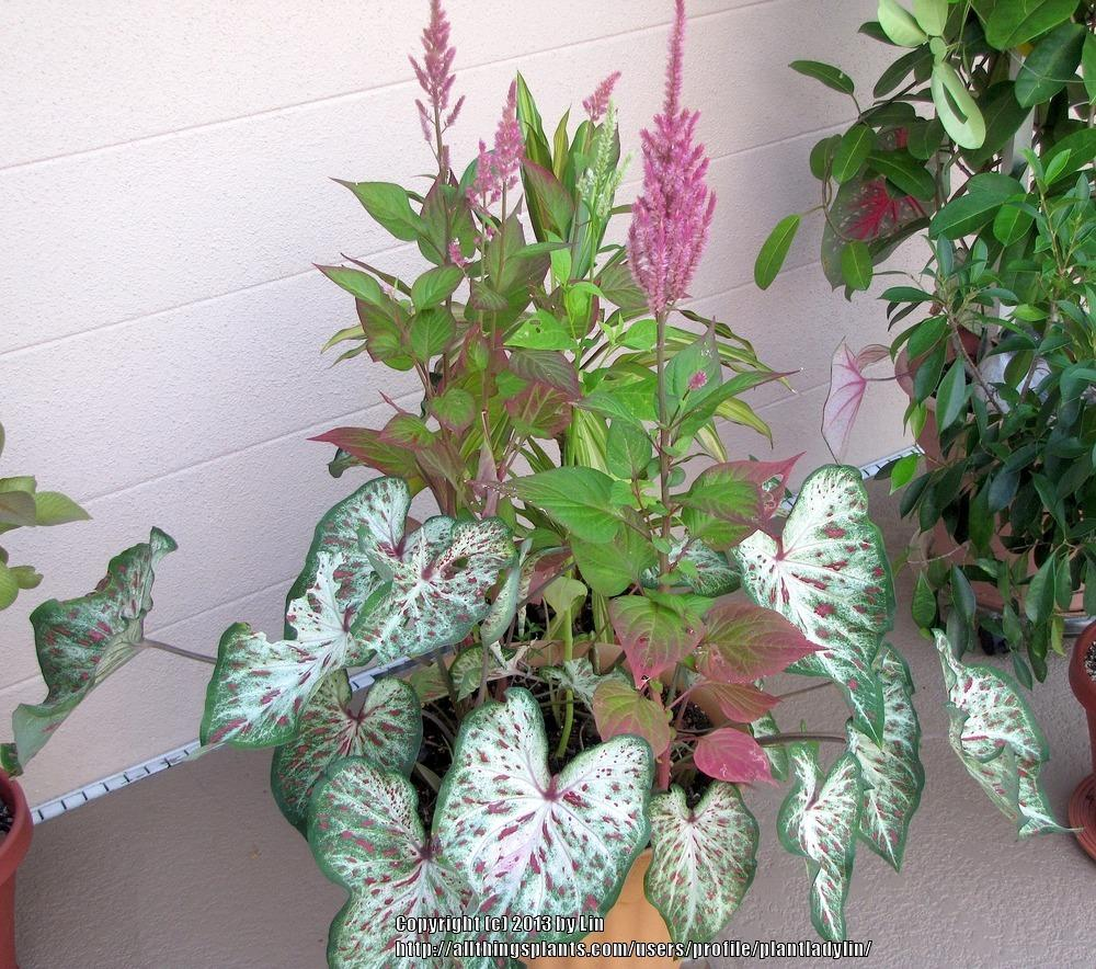 Photo of Celosia uploaded by plantladylin