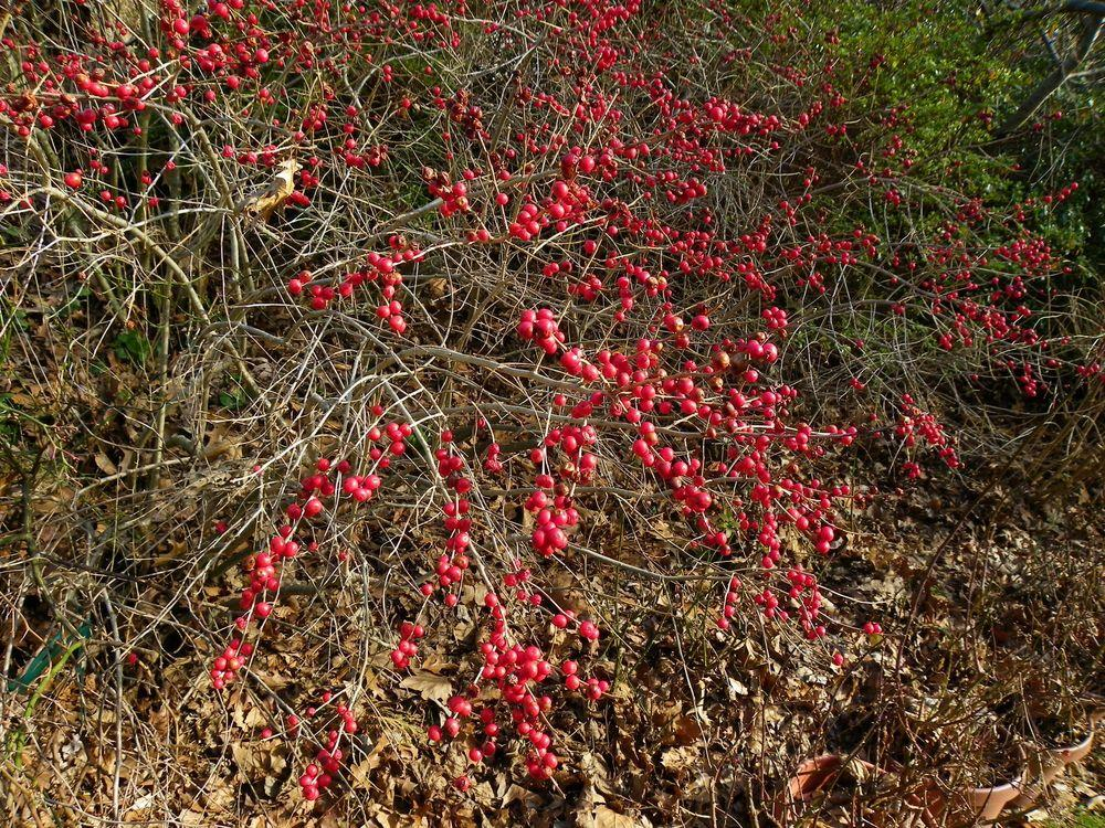 Photo of Winterberry Holly (Ilex verticillata 'Red Sprite') uploaded by Newyorkrita