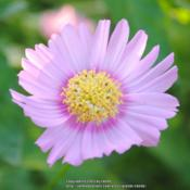Location: My Northeastern Indiana Gardens - Zone 5bDate: 2013-07-31Self-sown seedling of Common Cosmos (Cosmos bipinnatus Sensation