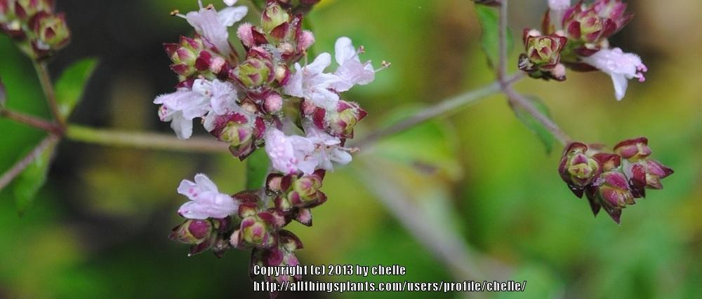 Photo of Oreganos (Origanum vulgare) uploaded by chelle
