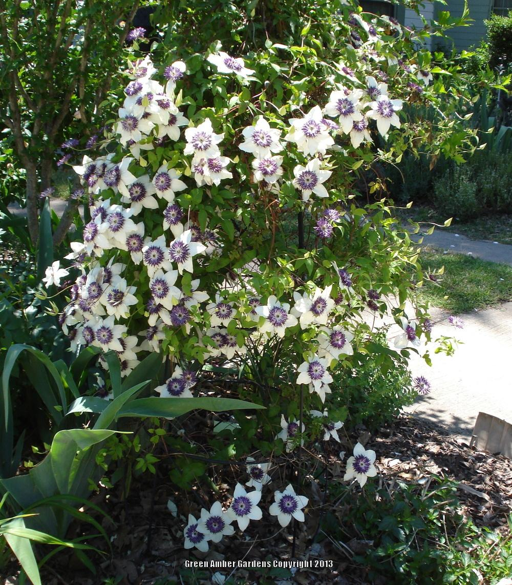 photo of the entire plant of clematis clematis florida. Black Bedroom Furniture Sets. Home Design Ideas