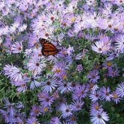 Location: Near shed - full sunDate: 2006-1019Butterflies love this plant.