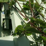 Location: Obelisk garden, full sunDate: 2012-0507I used dental floss to tie the plant to the obelisk. It worked we