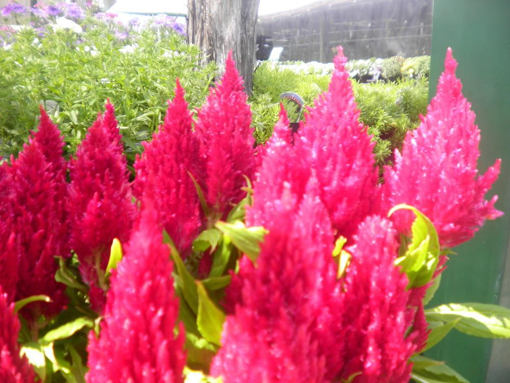 Photo of Feather Celosia (Celosia argentea 'New Look') uploaded by abigail
