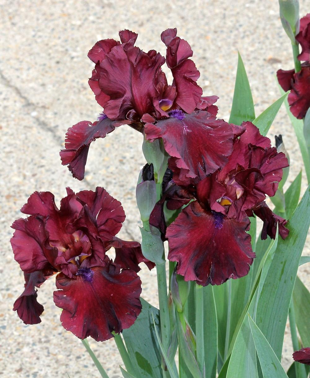 Photo of Tall Bearded Iris (Iris 'Fortunate Son') uploaded by ARUBA1334