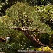 Location: Disney, Epicot, JapanDate: 2010-06-08Bonsai 45 years old.