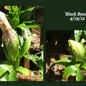 Location: montana grandiflora gardenDate: 2012-04-19Shedding the stalk from last year. It all happened in 1
