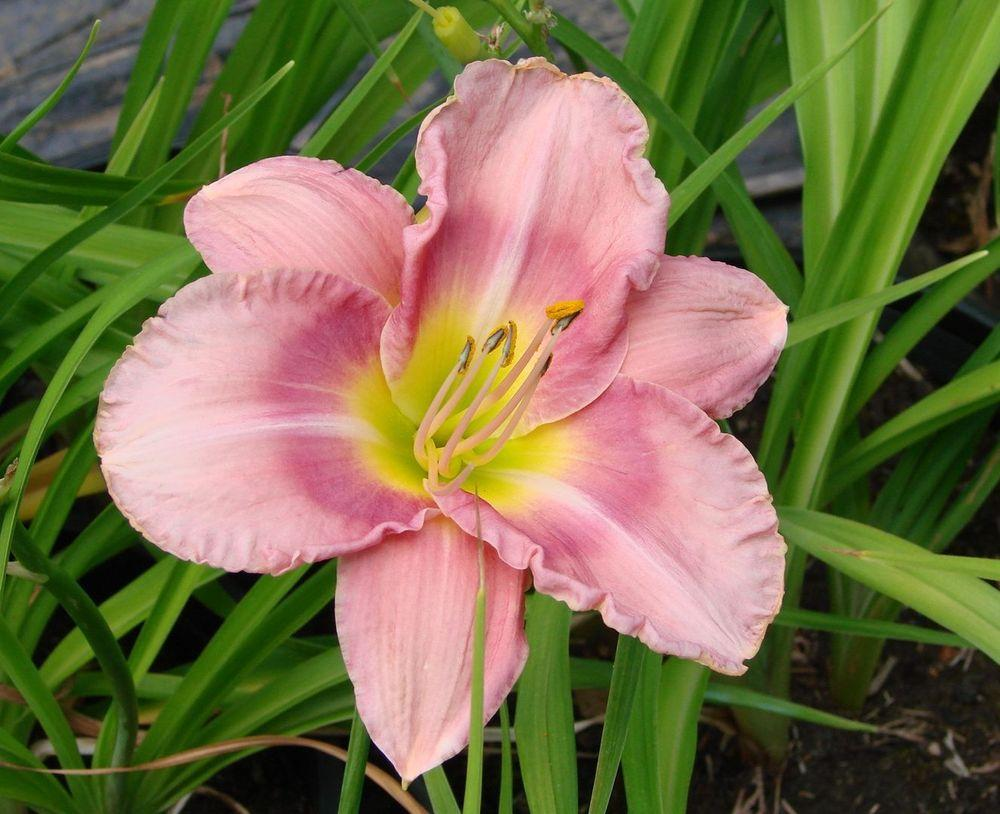 Photo of Daylily (Hemerocallis 'Abbot's Magic') uploaded by Joy