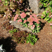 Location: Belmont garden, dry spotDate: 2013-09-26Several heuchera are in front of it.