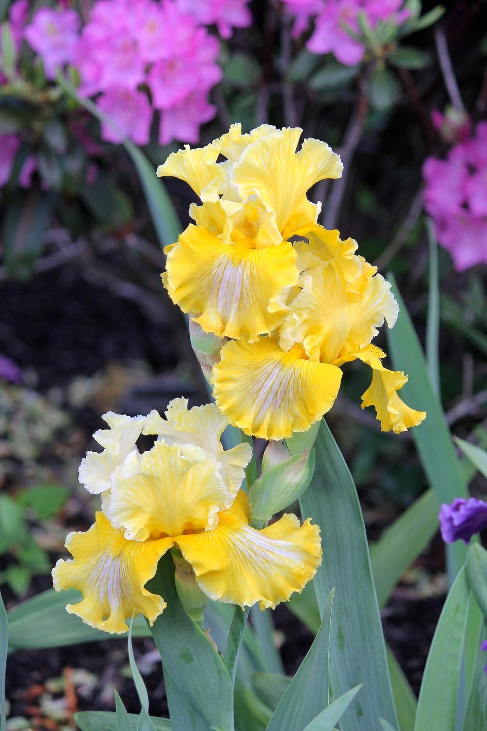 Photo of Tall Bearded Iris (Iris 'Smart Money') uploaded by ARUBA1334