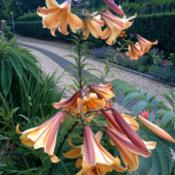 Location: The garden at SanabriaDate: 2013-07-27Long lasting blooms do well in sun