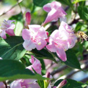 Location: My GardensDate: May 24, 2009Attractive To Bees Also