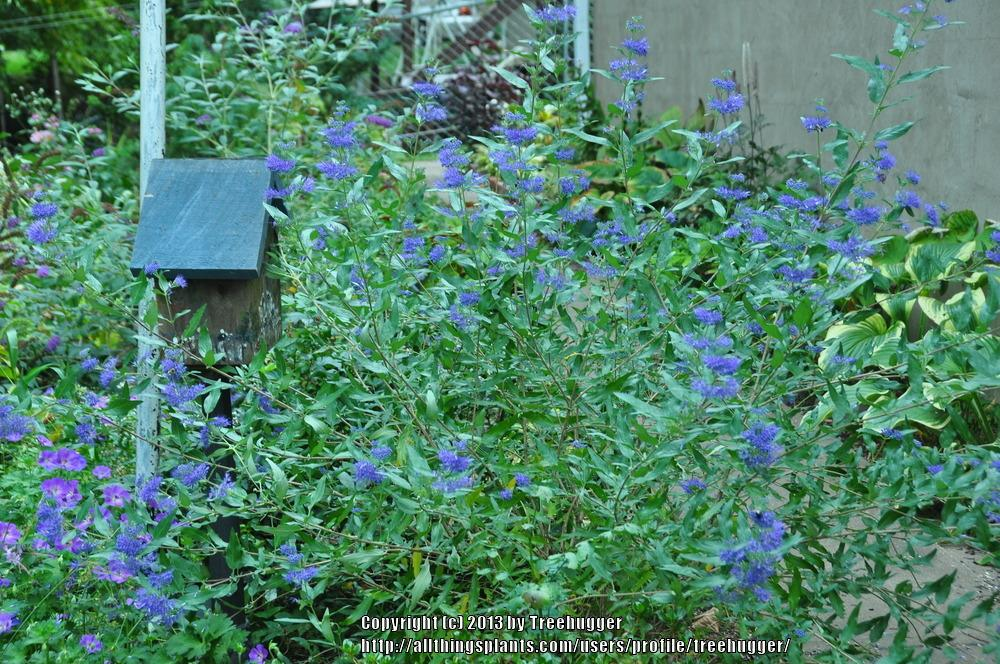 Photo of Bluebeard (Caryopteris x clandonensis 'Longwood Blue') uploaded by treehugger