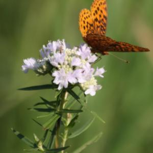 A small flowerhead, with Meadow Fritillary, our smallest frit. Sh