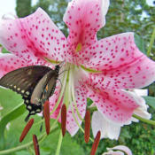 Location: My GardensDate: July 31, 2006Very Close View #Pollination #Butterflies