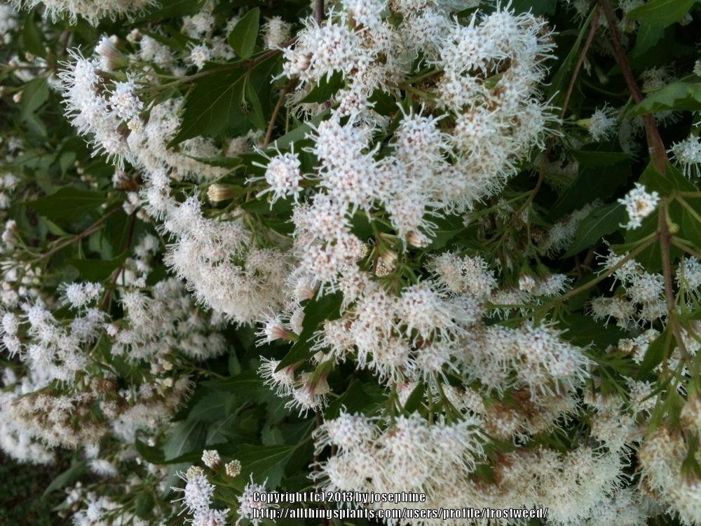 White mistflower what a magnet for all kinds of pollinators white mistflower what a magnet for all kinds of pollinators garden mightylinksfo