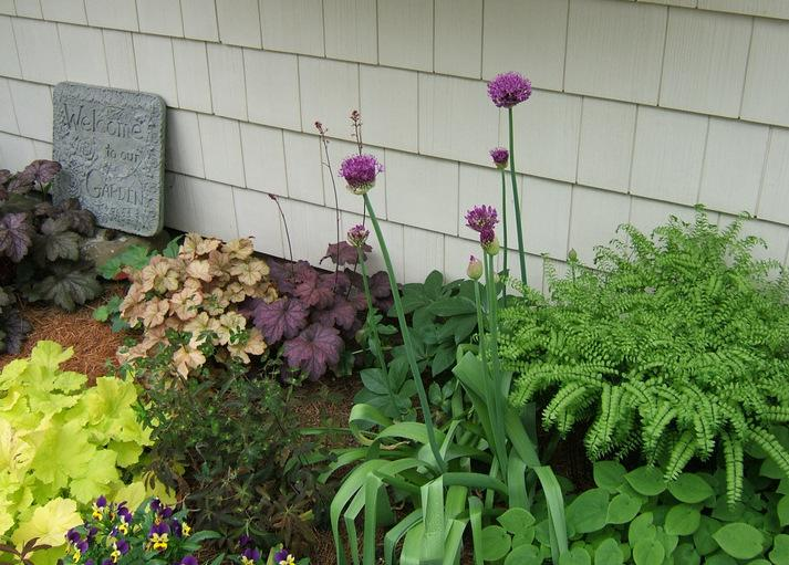 Photo of Flowering Onion (Allium 'Purple Sensation') uploaded by pirl