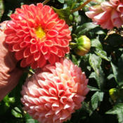 Location: The ParkDate: 2013-1014Changes color in the fall as many dahlias do.