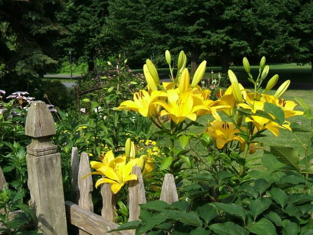 Photo of Lilies (Lilium) uploaded by pirl