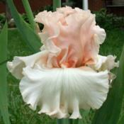 Location: IndianaDate: May 2013Tall bearded iris 'Magical'