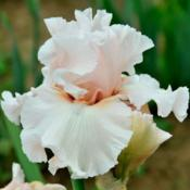 Location: IndianaDate: May 2013Tall bearded iris 'Society Page'