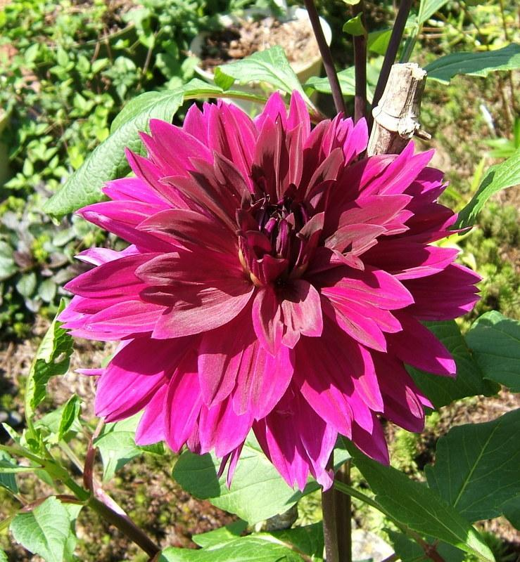 Photo of Dahlia 'Thomas A. Edison' uploaded by pirl