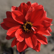 Location: The Garden at SanabriaDate: July Beautiful very popular dark foliage dahlia, very highly recommend