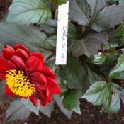 Location: The garden at SanabriaDate: August24 inch, multiple small flowers, front of border dahlia