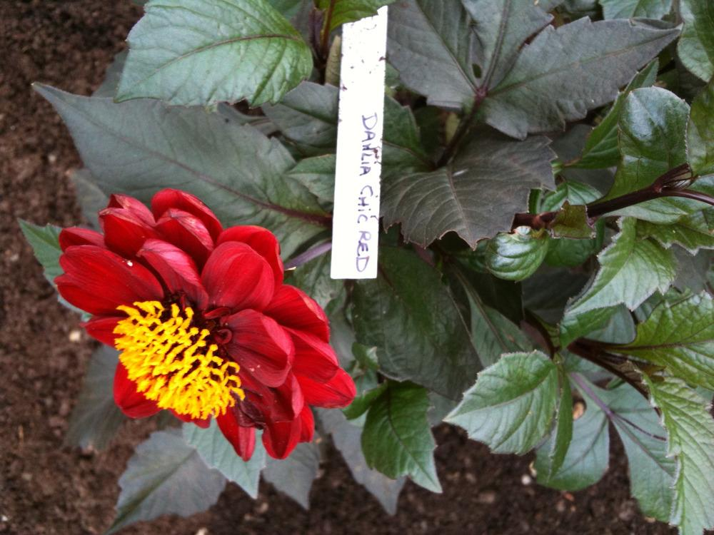 Photo of Dahlia 'Chic Red' uploaded by Cantillon