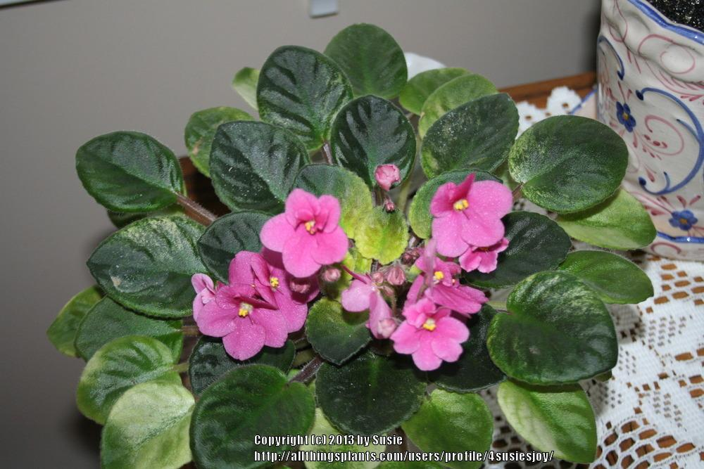 Photo of African Violet (Saintpaulia 'Rob's Slap Happy') uploaded by 4susiesjoy