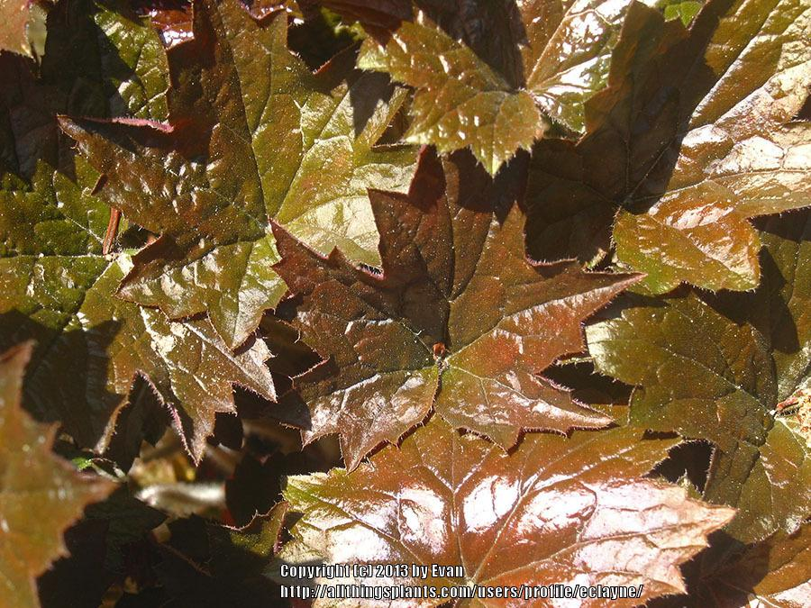 Photo of Coral Bells (Heuchera micrantha 'Palace Purple') uploaded by eclayne