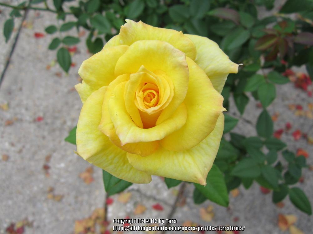 Photo of Roses (Rosa) uploaded by terrafirma