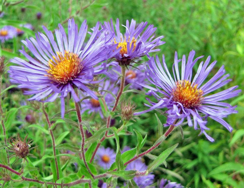 Asters plant care and collection of varieties garden add or edit informational text about this plant mightylinksfo