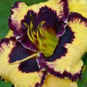 Location: IndianaDate: JULY 2013Daylily 'Special Candy'