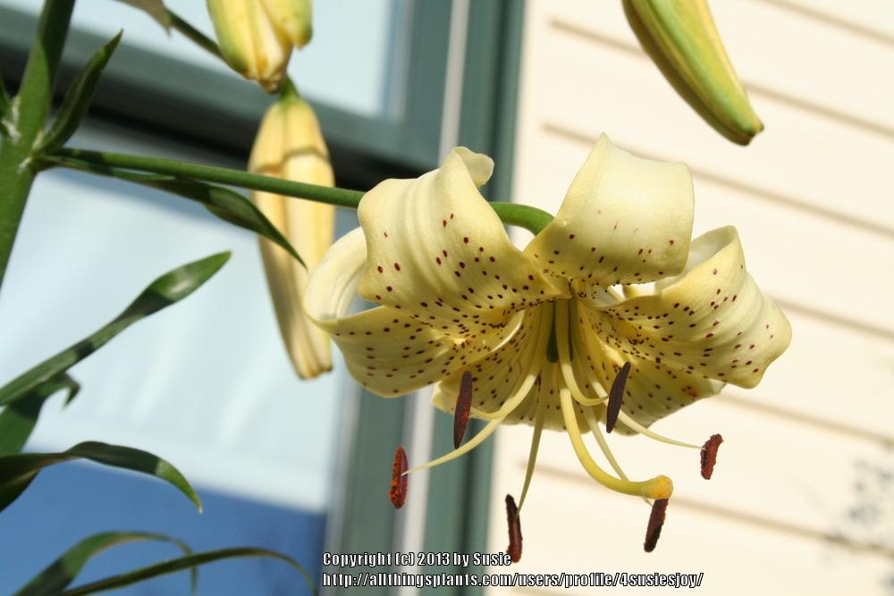Photo of Lily (Lilium 'George Slate') uploaded by 4susiesjoy