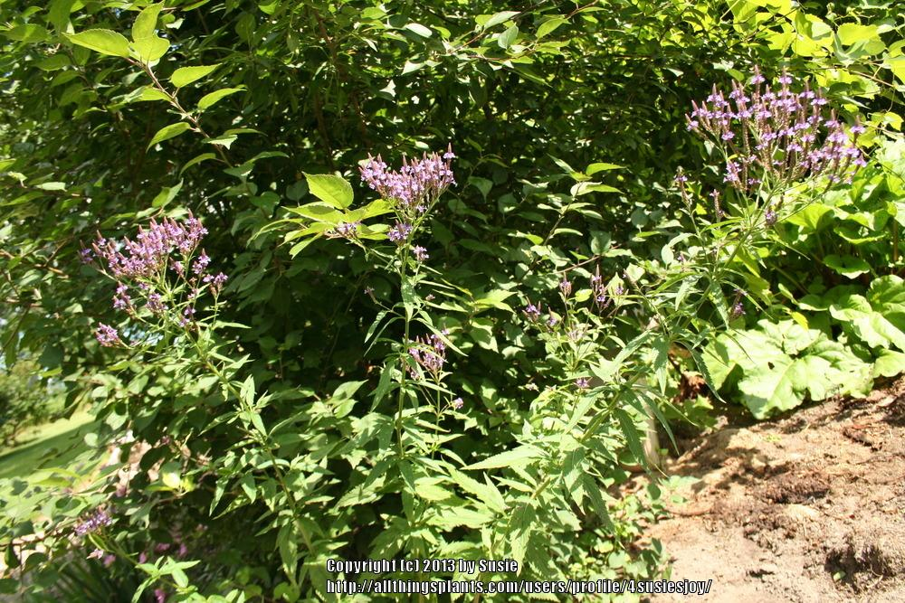 Photo of Blue Vervain (Verbena hastata) uploaded by 4susiesjoy