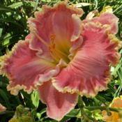 Location: IndianaDate: July 2012Daylily 'Shores of Time'