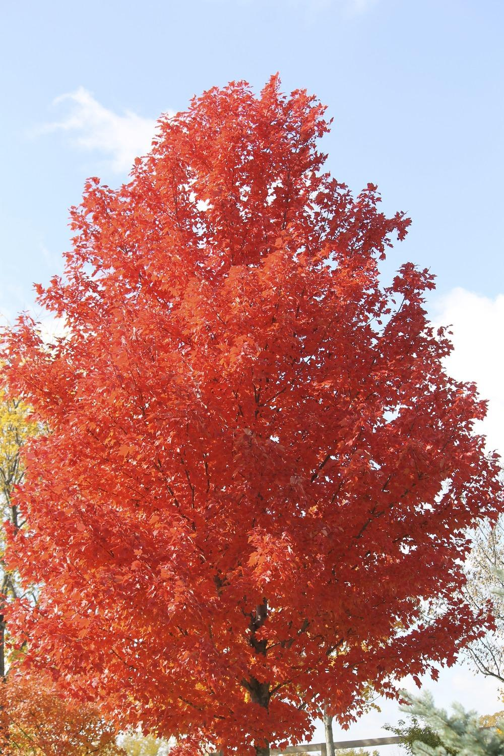 photo of the leaves of red maple acer rubrum red sunset. Black Bedroom Furniture Sets. Home Design Ideas